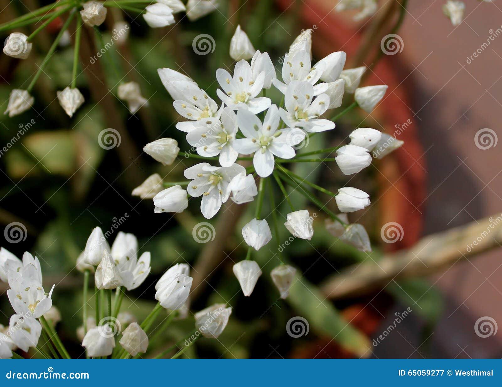 Ornithogallum umbellatum star of bethlehem stock photo for Grass like flowering plants