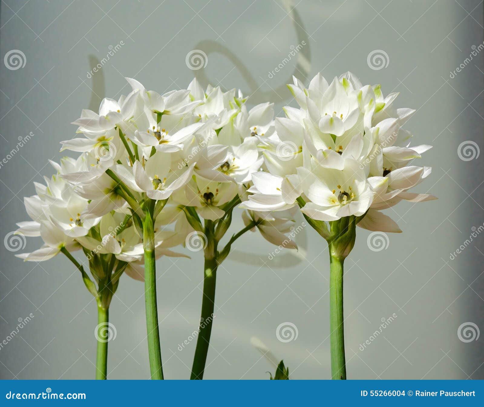 betlehems stjärna blomma