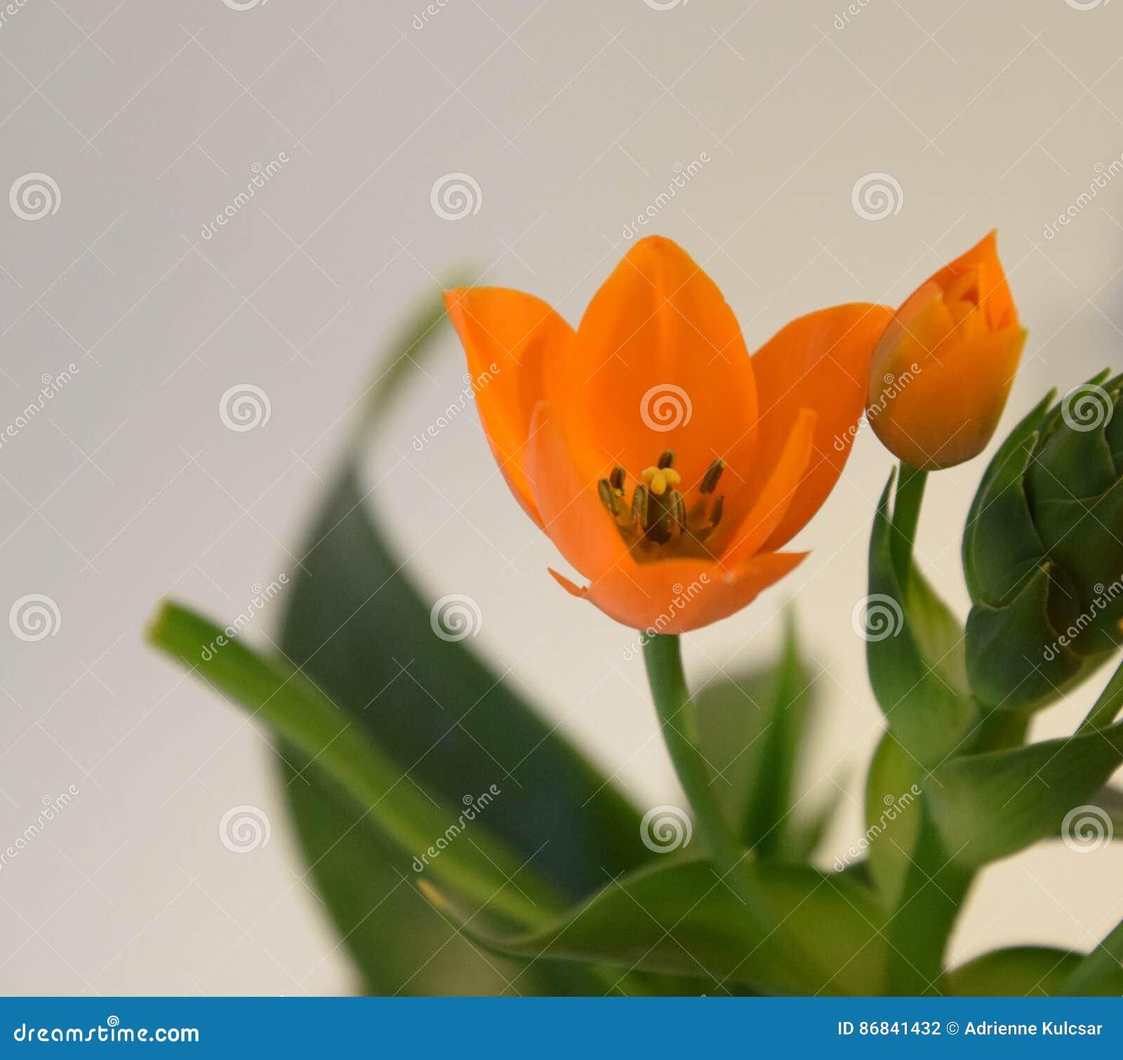 Ornithogalum Orange étoile De Bethlehem Photo Stock Image