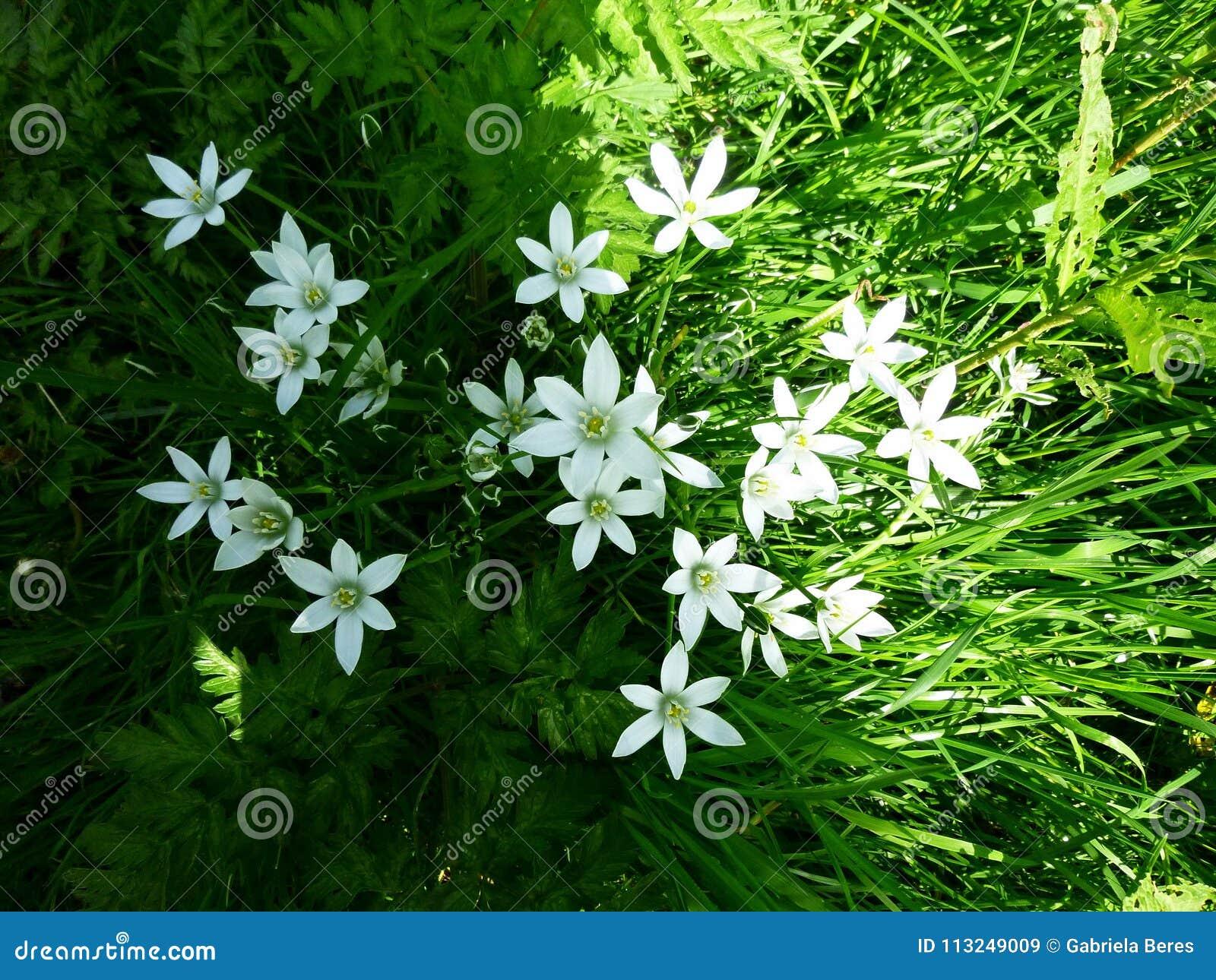 Ornithogalum Umbellatum Six Petal Flower Star Of Bethlehem White