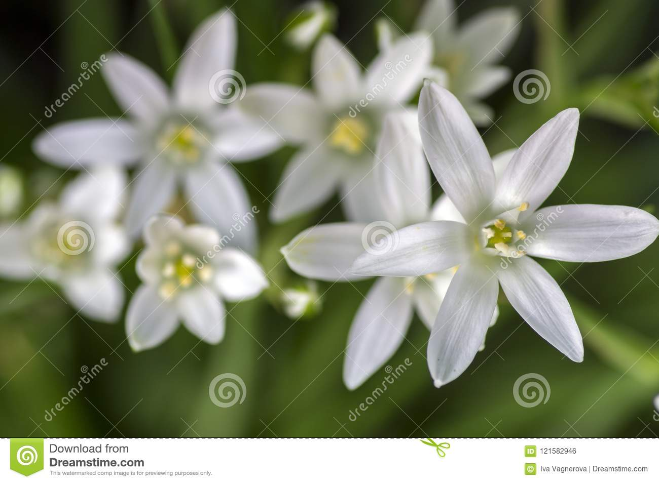 Ornithogalum Umbellatum Grass Lily In Bloom Small Ornamental And