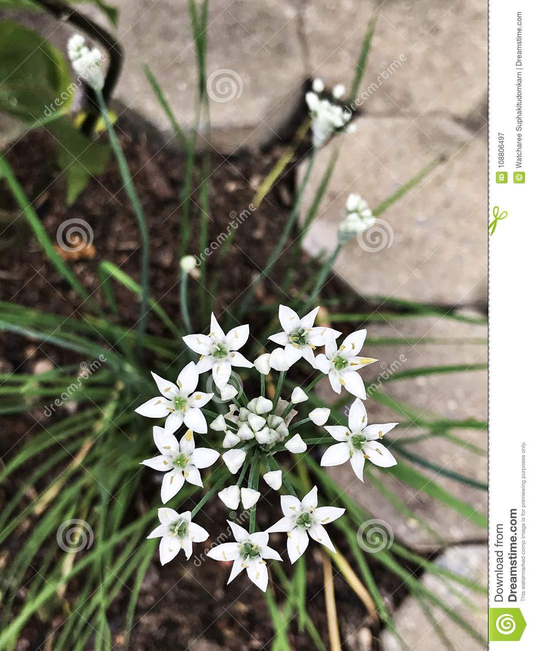 Ornithogalum umbellatum or Grass lily or Nap-at-noon or Eleven o`clock lady or The garden star-of-Bethlehem flowers.