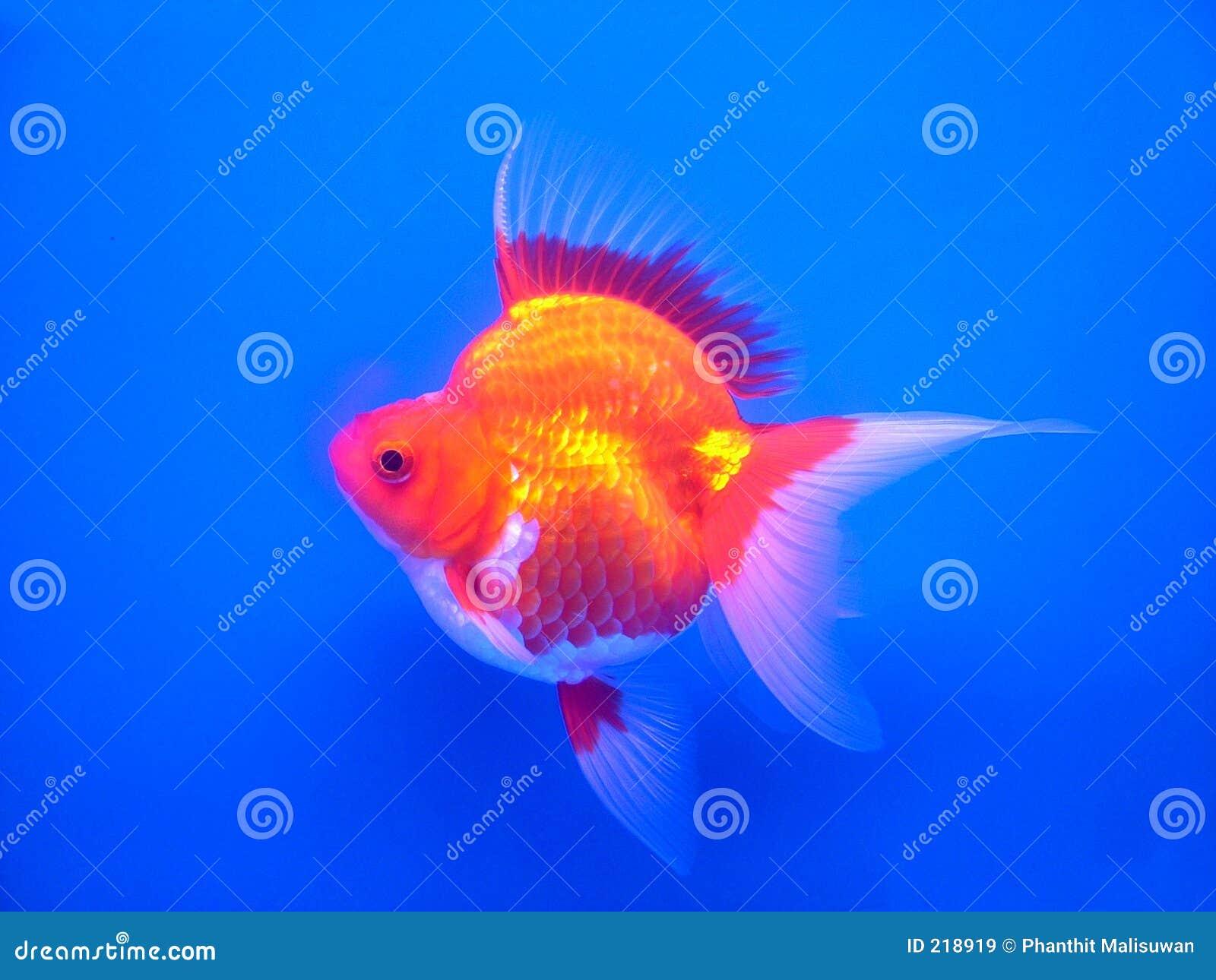 Oro fish#1