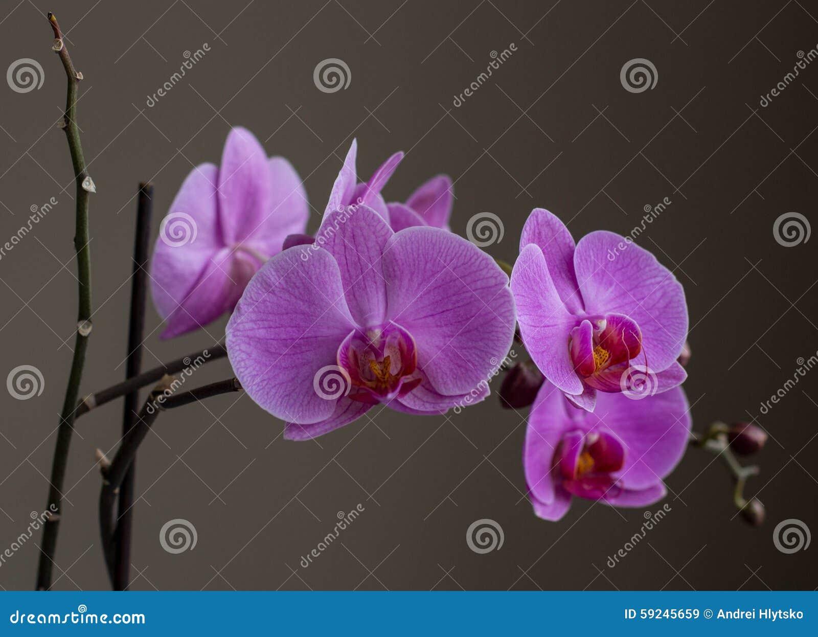 Download Orquídea imagen de archivo. Imagen de flor, extracto - 59245659