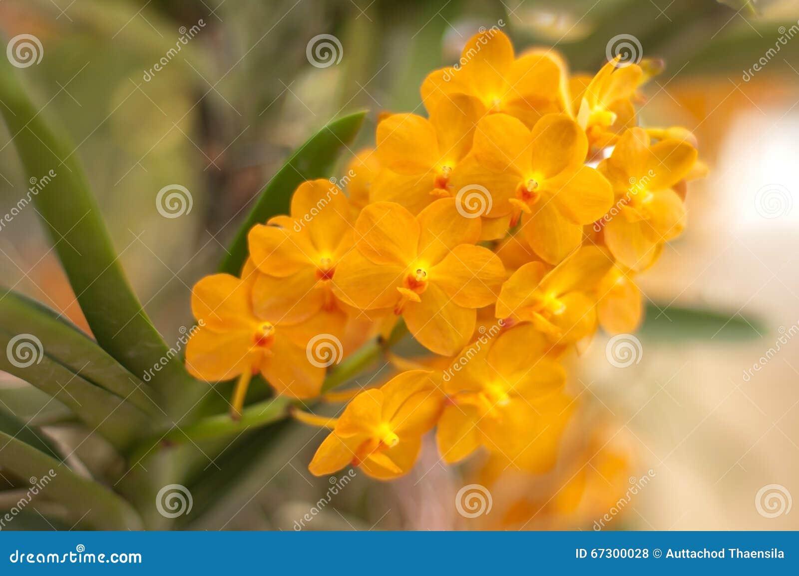 Orquídea alaranjada