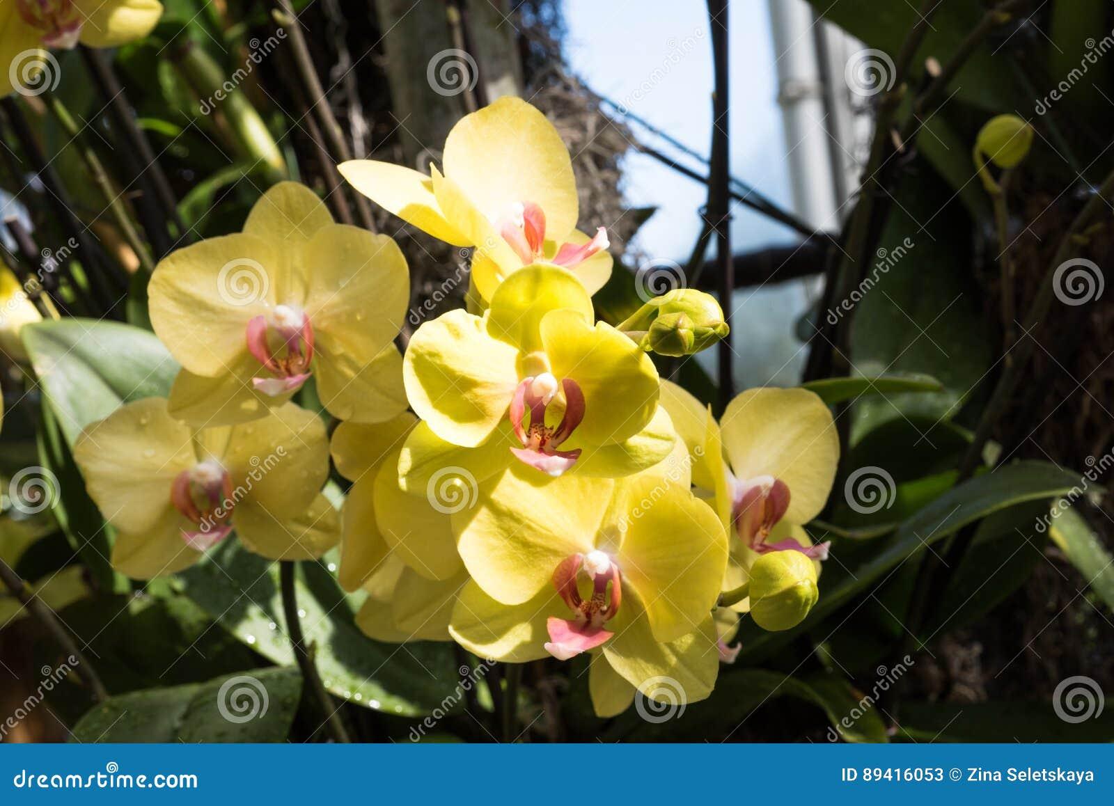 Orquídea amarela do Phalaenopsis