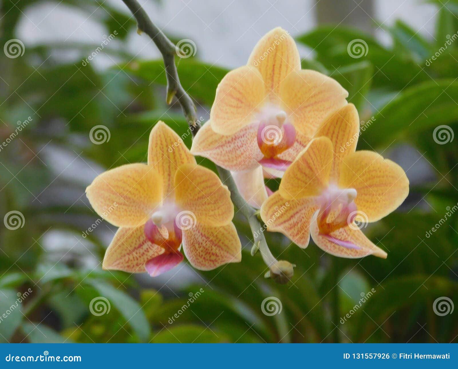 Orquídea amarilla
