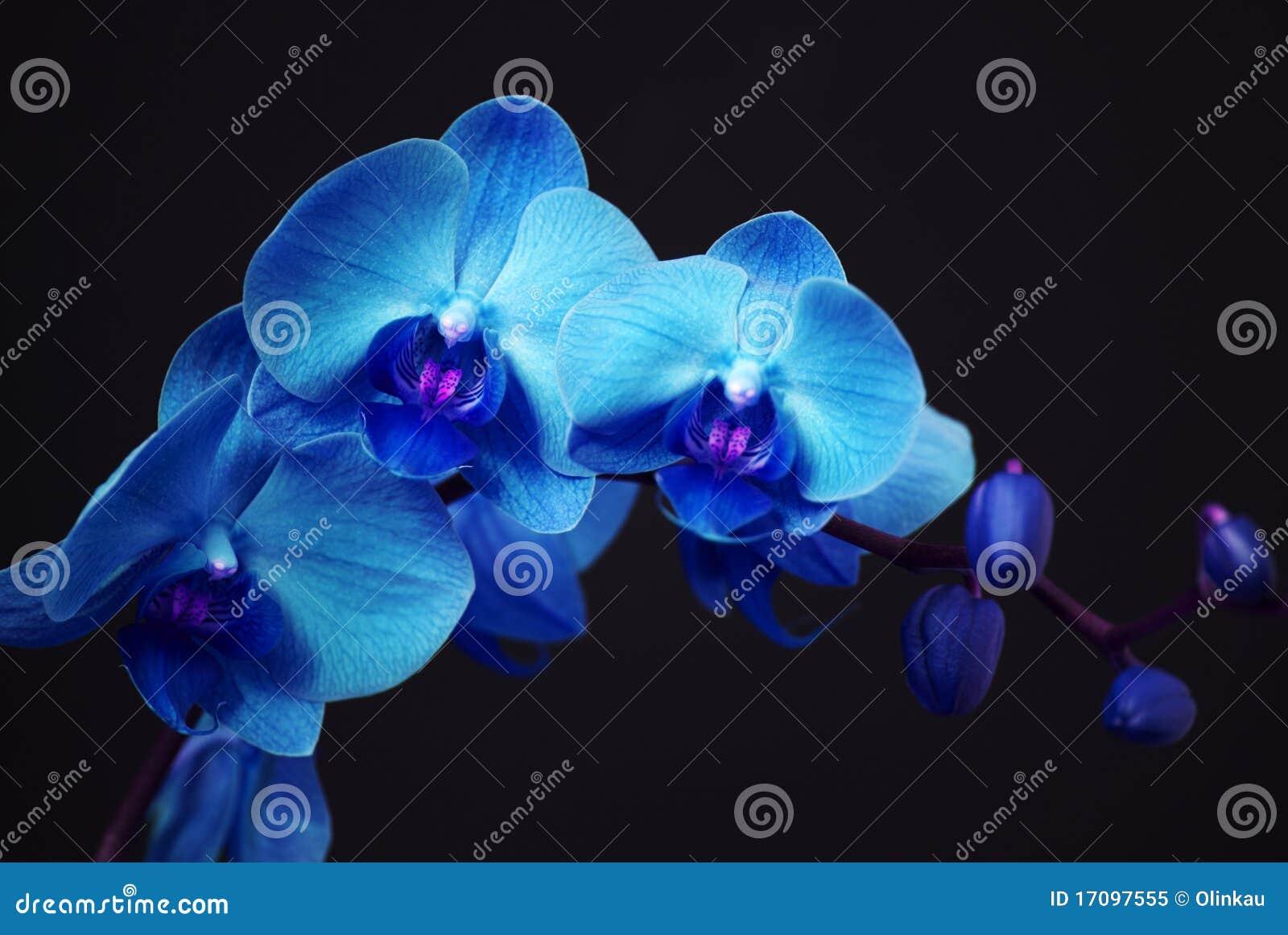 Orquídea azul con los brotes