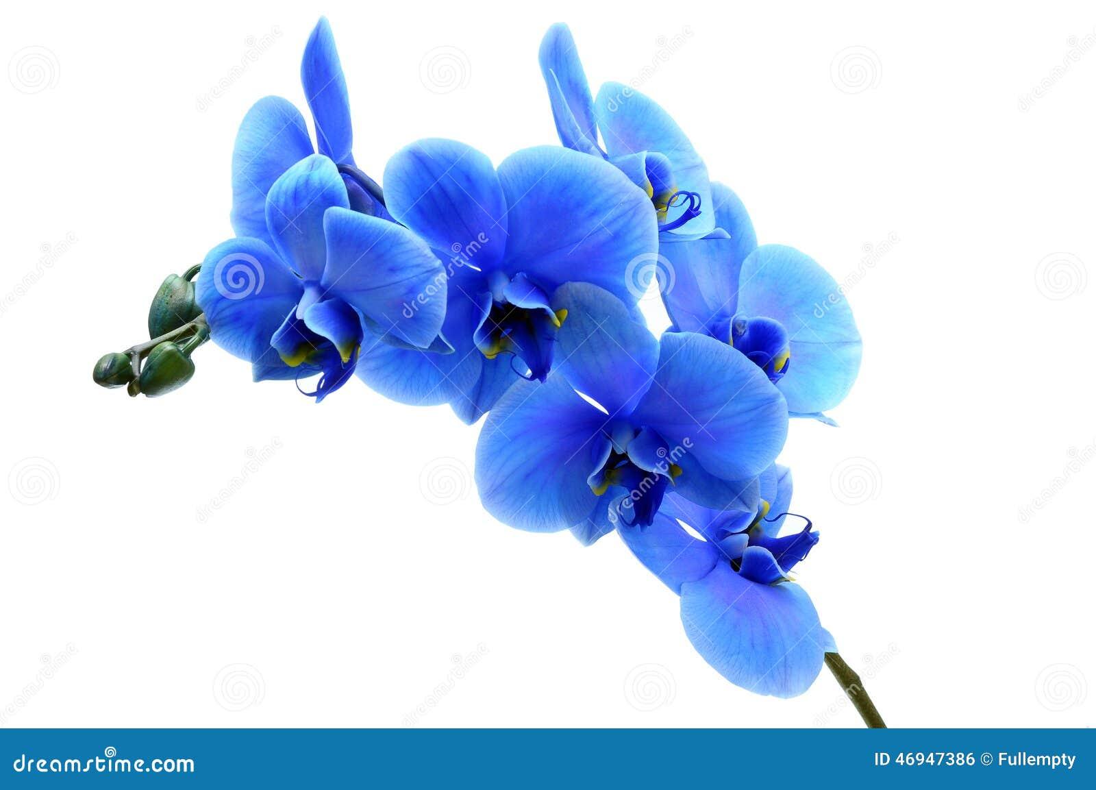 Orquídea azul da flor