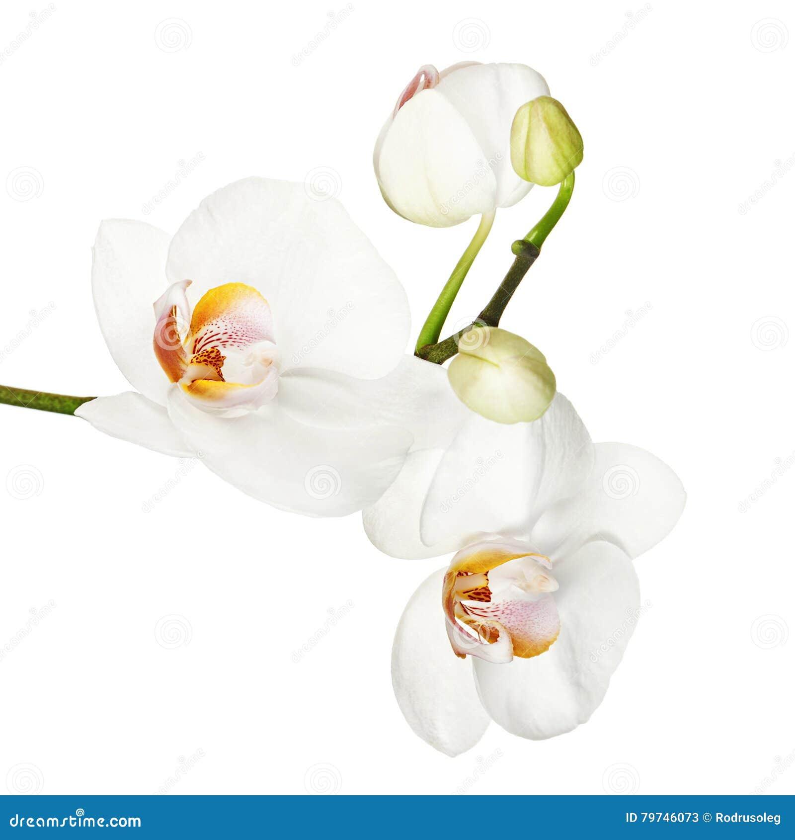 Orquídea blanca aislada en el fondo blanco