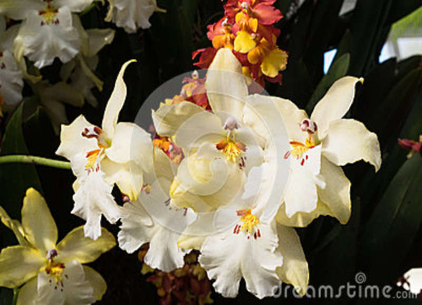 Orquídea bonita do Miltonia