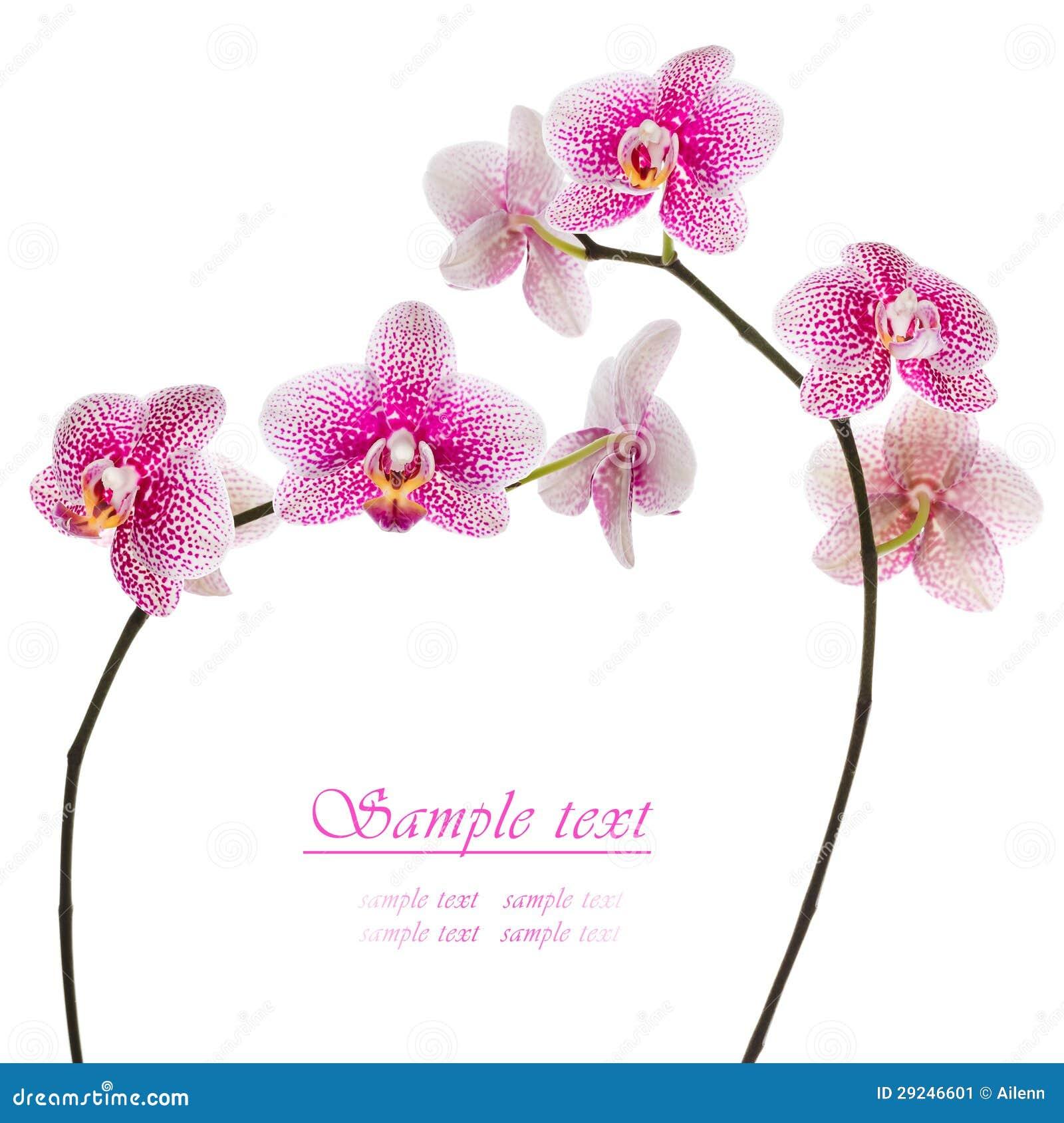 Download Orquídea Cor-de-rosa Bonita Em Um Fundo Branco Imagem de Stock - Imagem de jardim, elegance: 29246601