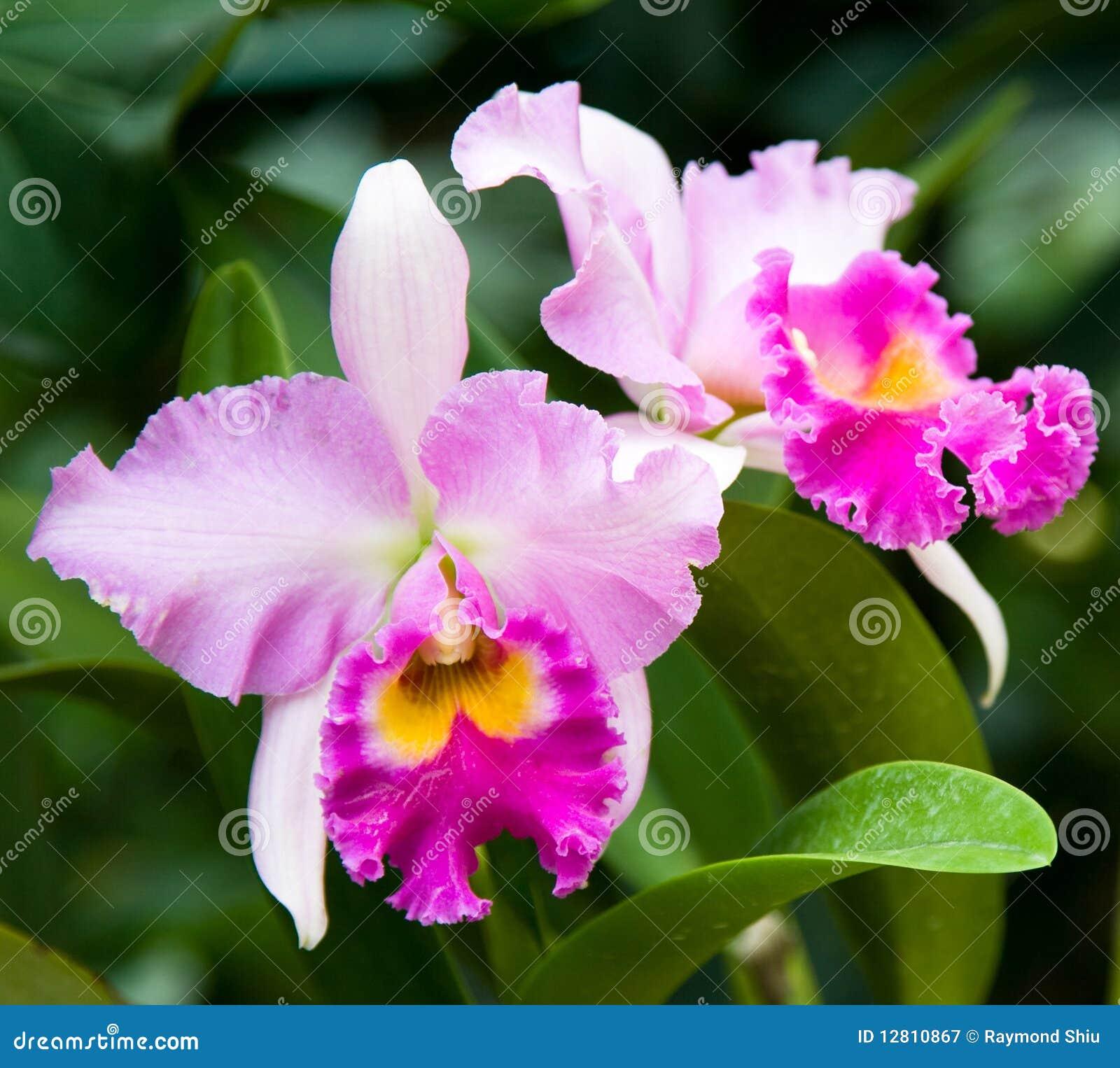 Orquídea da cor-de-rosa selvagem