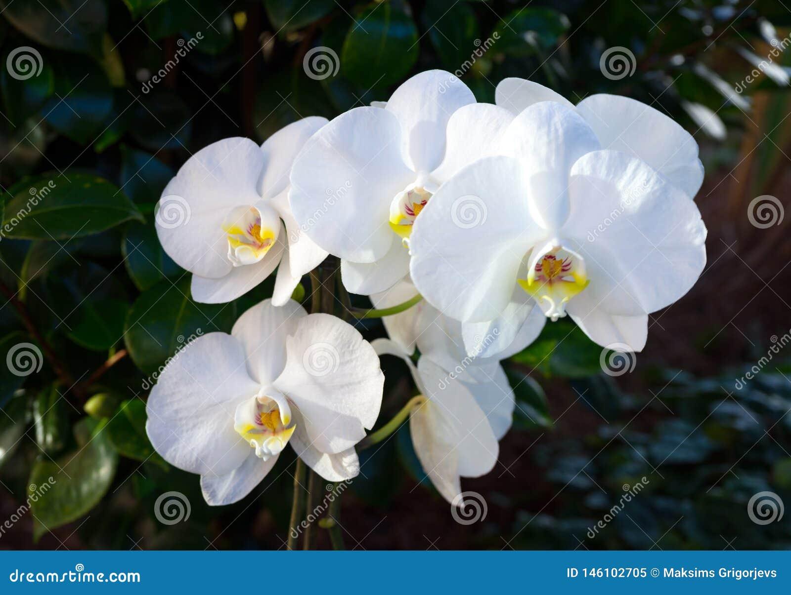Orquídea de florescência branca no jardim do verde da casa