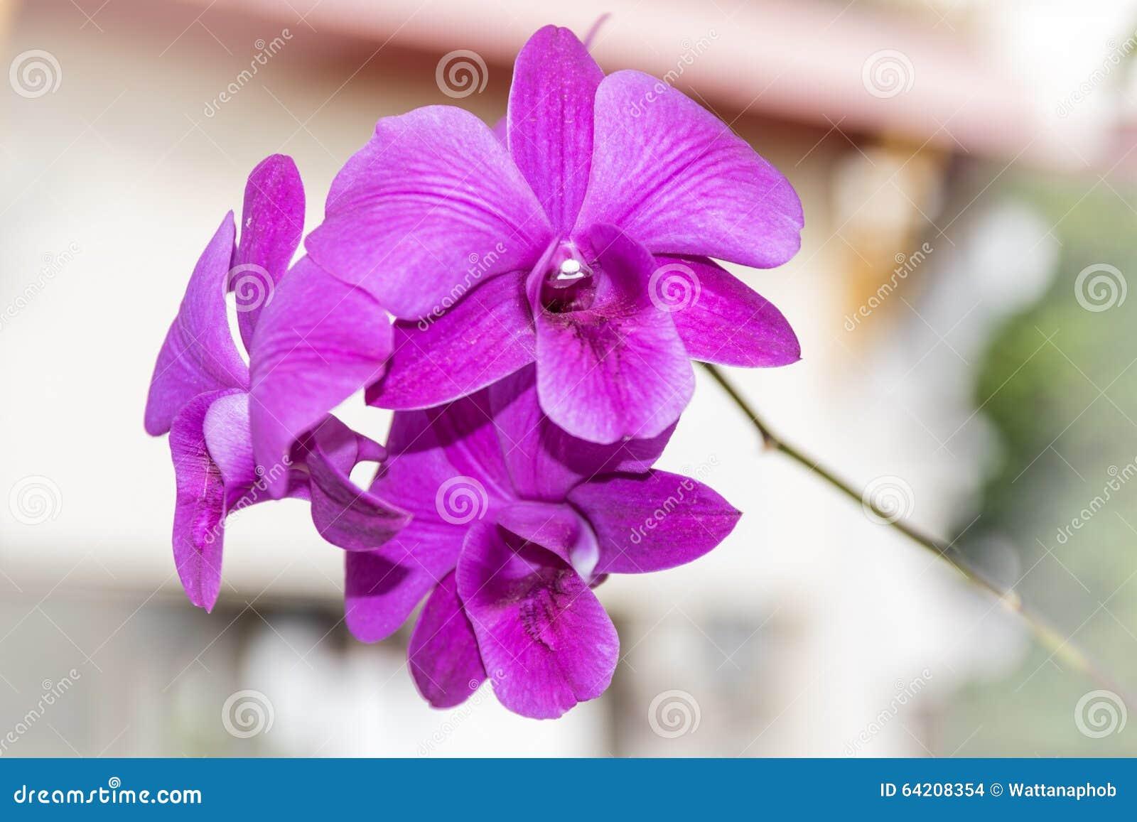 Orquídea de la púrpura de Tailandia