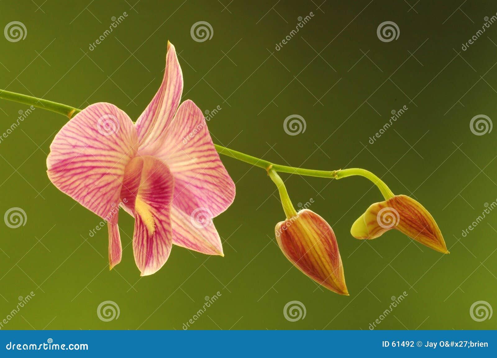 Orquídea el fluir