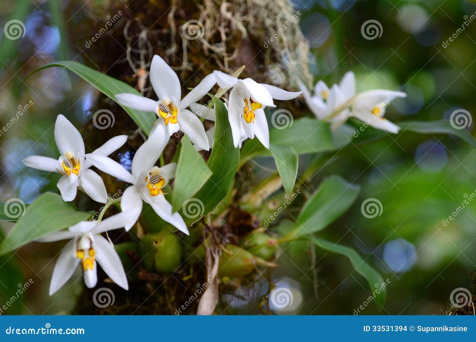 Orquídea en el bosque (nitida de Coelogyne)