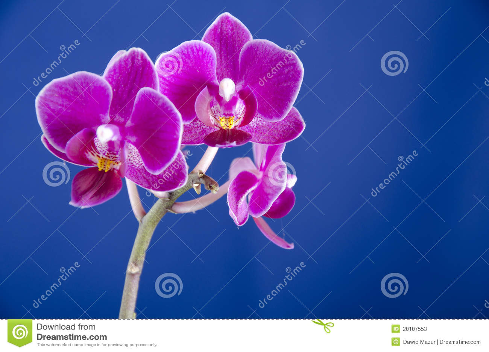 Orquídea en el fondo azul