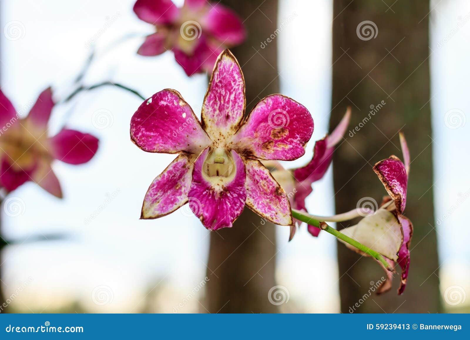 Orquídea marchita