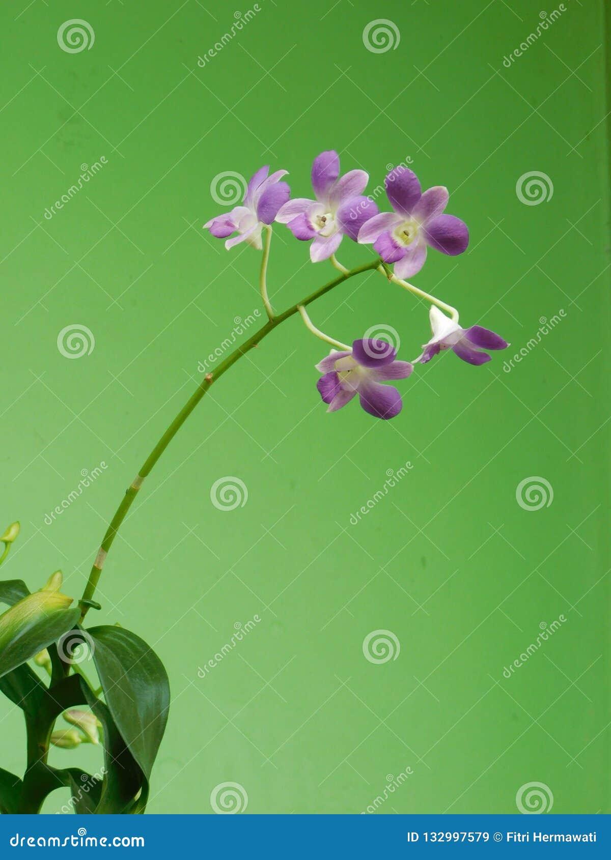 Orquídea púrpura hermosa