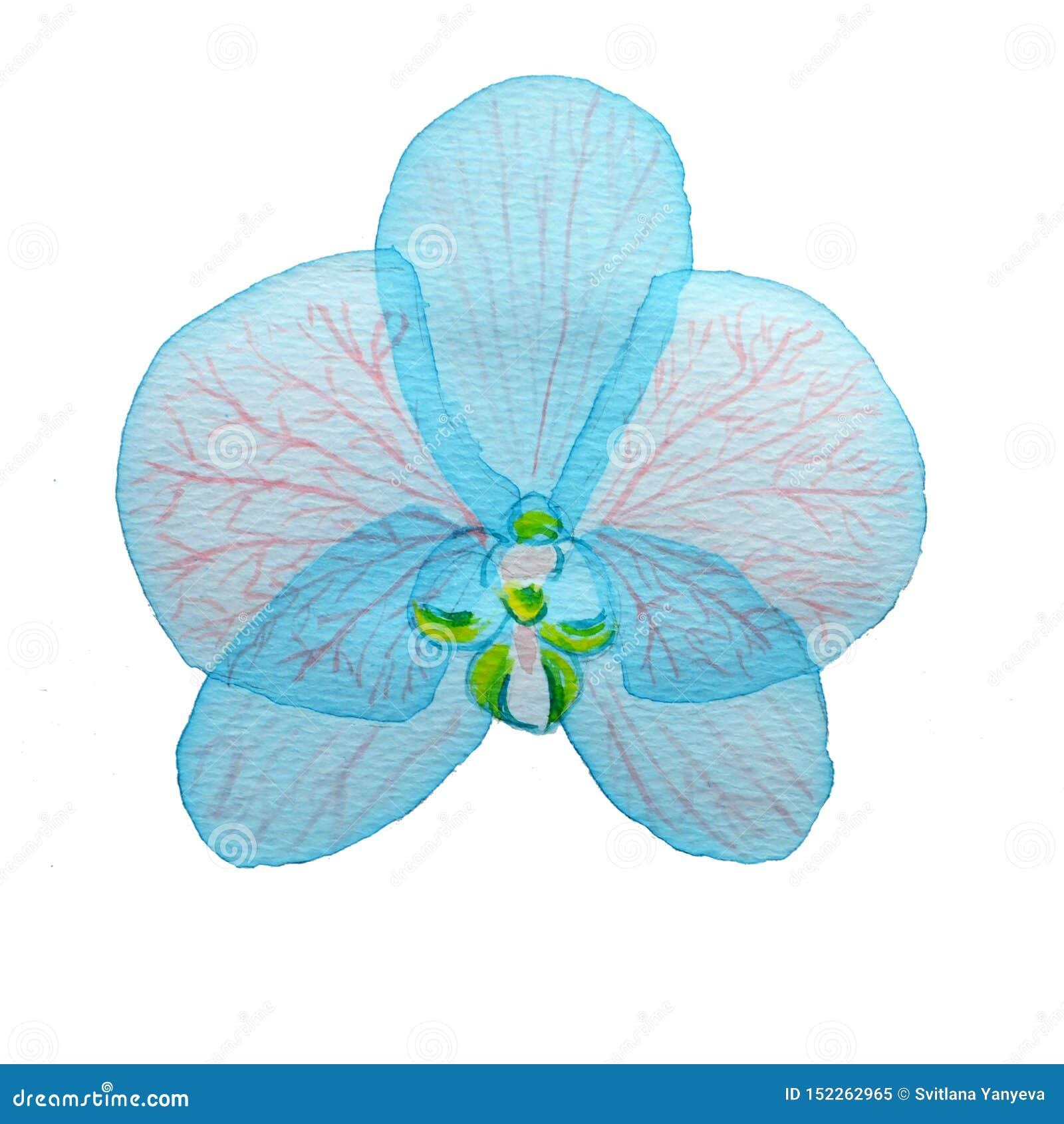 Orquídea rosada acodada transparente azul de la flor de la acuarela en el fondo blanco