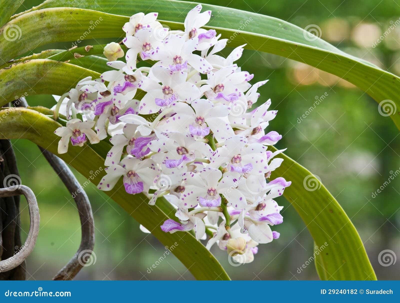 Download Orquídea roxa e branca foto de stock. Imagem de naughty - 29240182