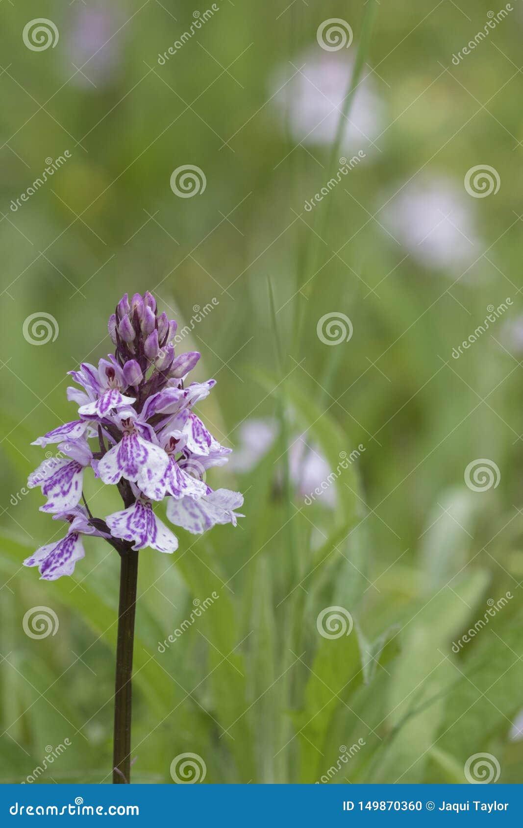 Orquídea salvaje en el campo común de Southampton