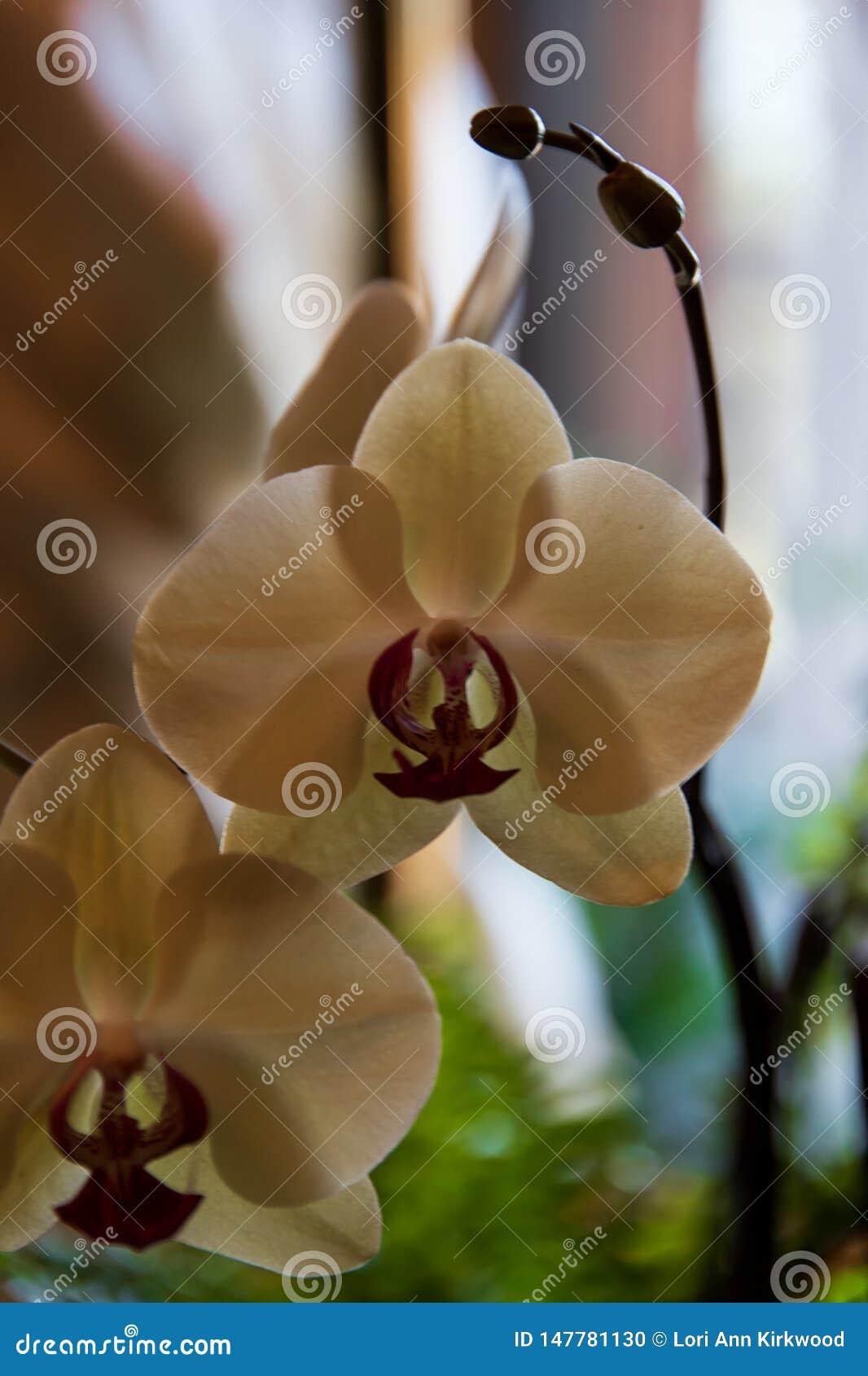 A orquídea vale a pena o trabalho