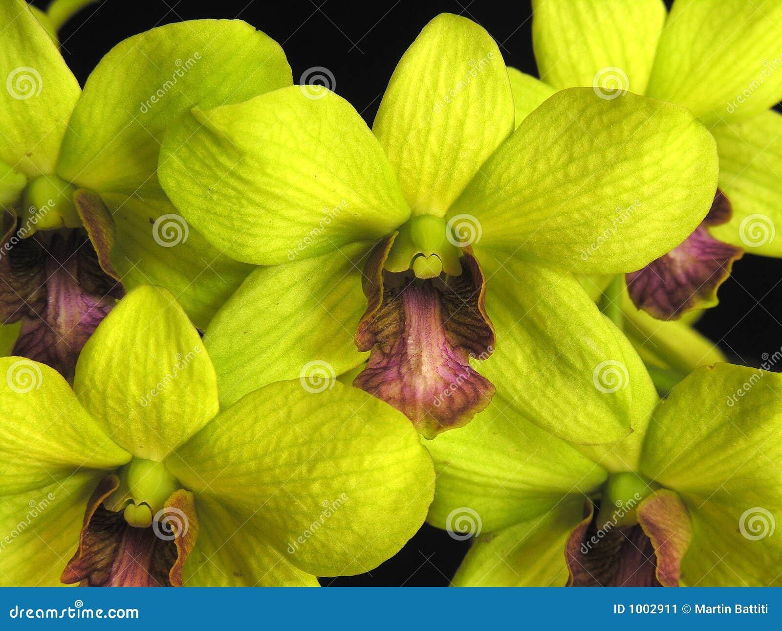Orquídea: Verde del Dendrobium