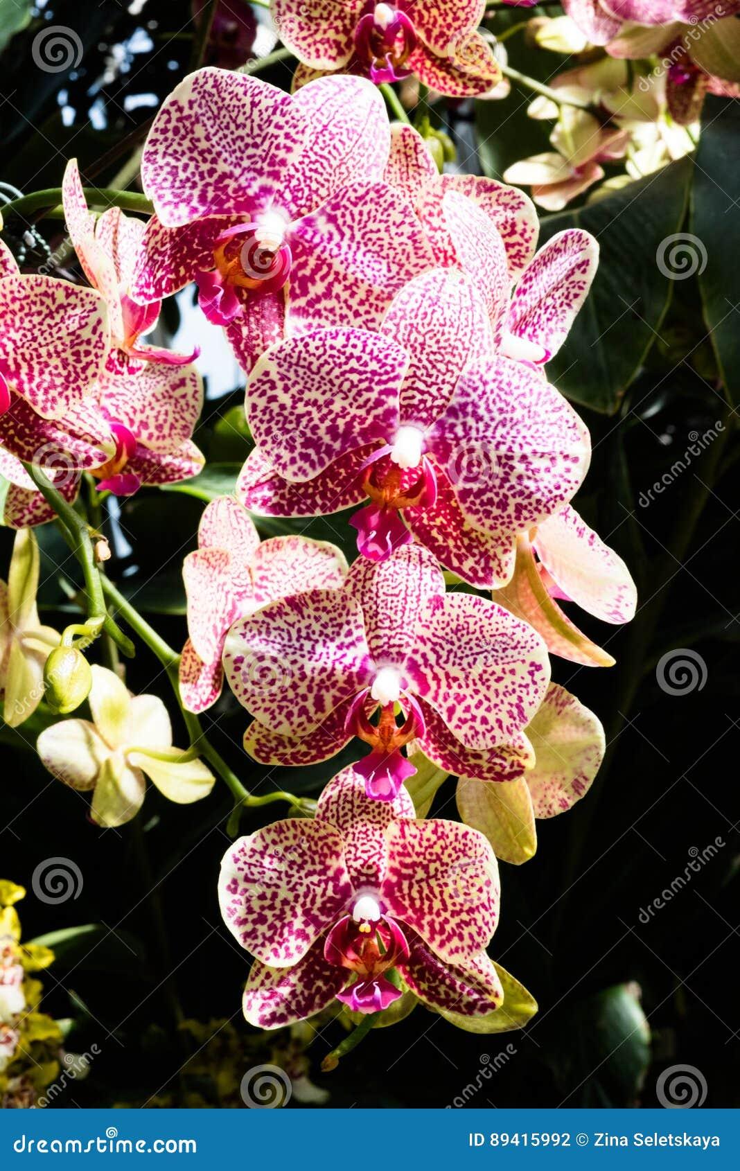 Orquídeas cor-de-rosa exóticas com listras