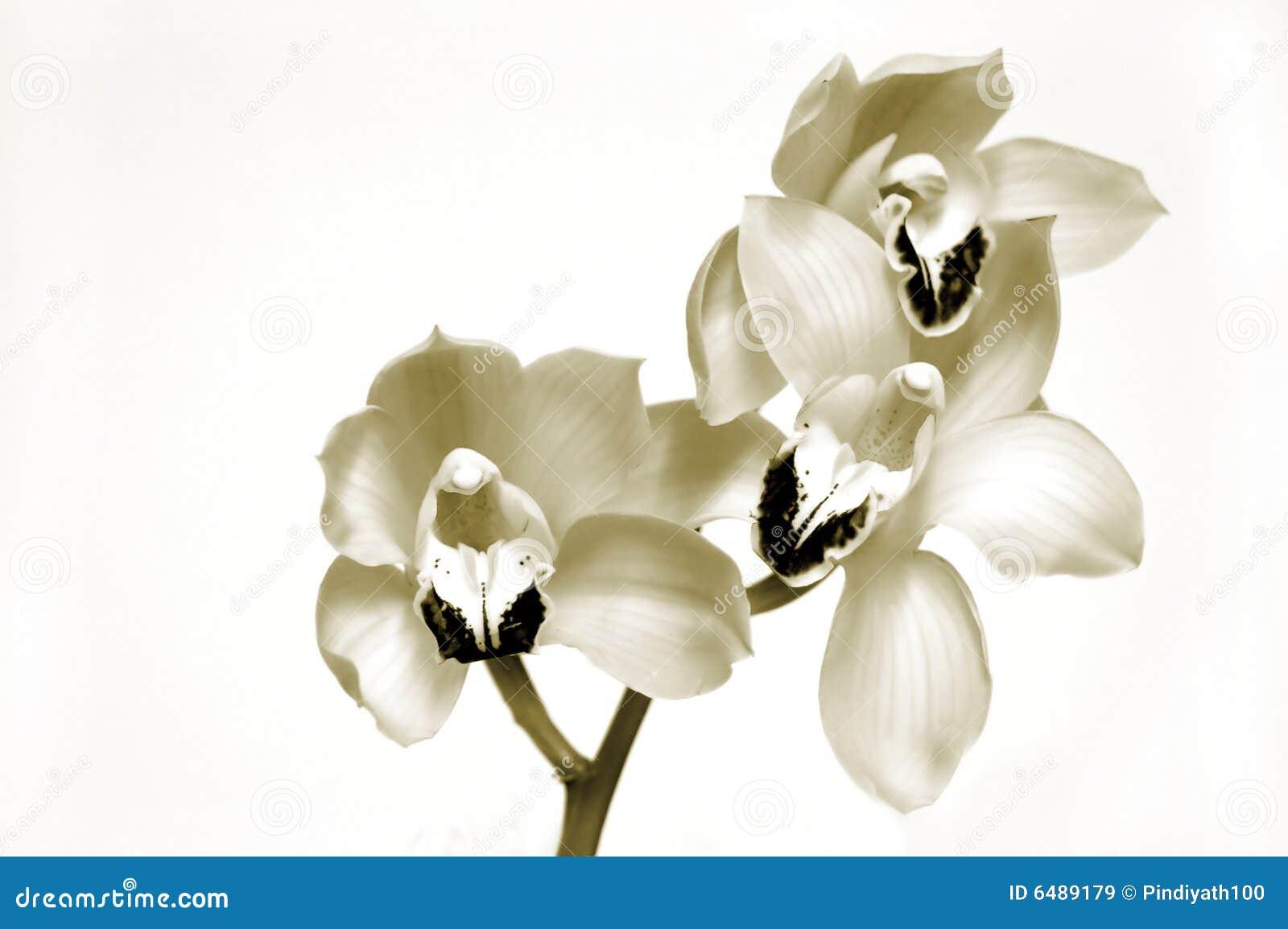 Orquídeas no Sepia