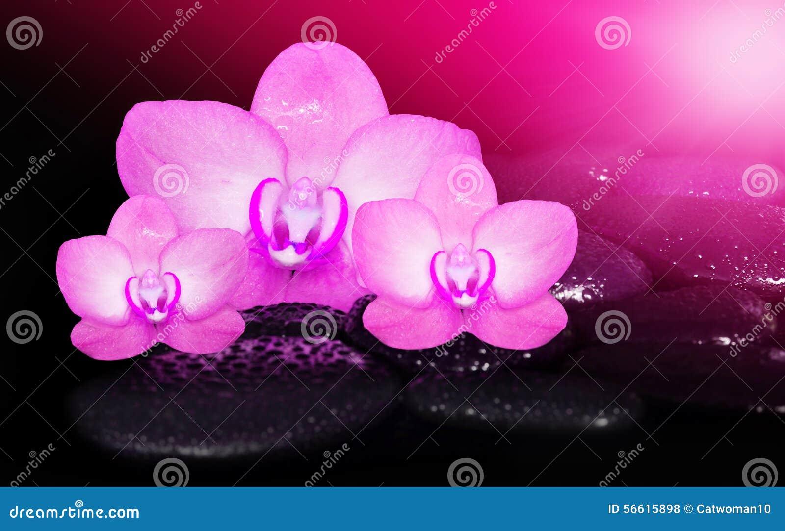 Orquideas Rosadas De Las Flores Y Piedras Negras Foto De Archivo