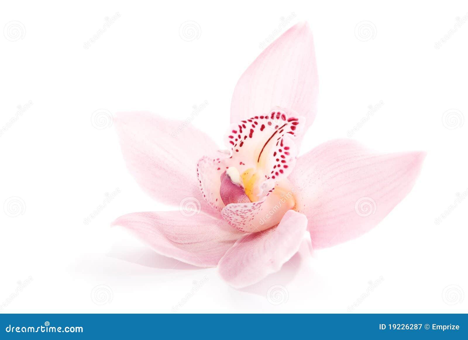 Orquídea atractiva aislada en el fondo blanco Fotografía de archivo libre de regalías