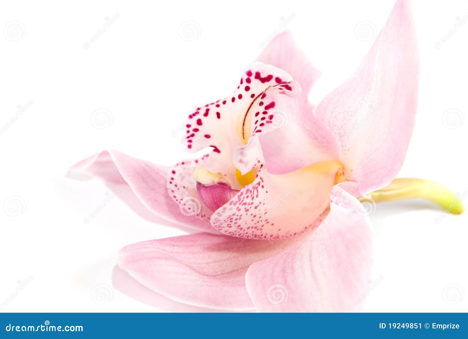 Orquídea atractiva aislada en el fondo blanco
