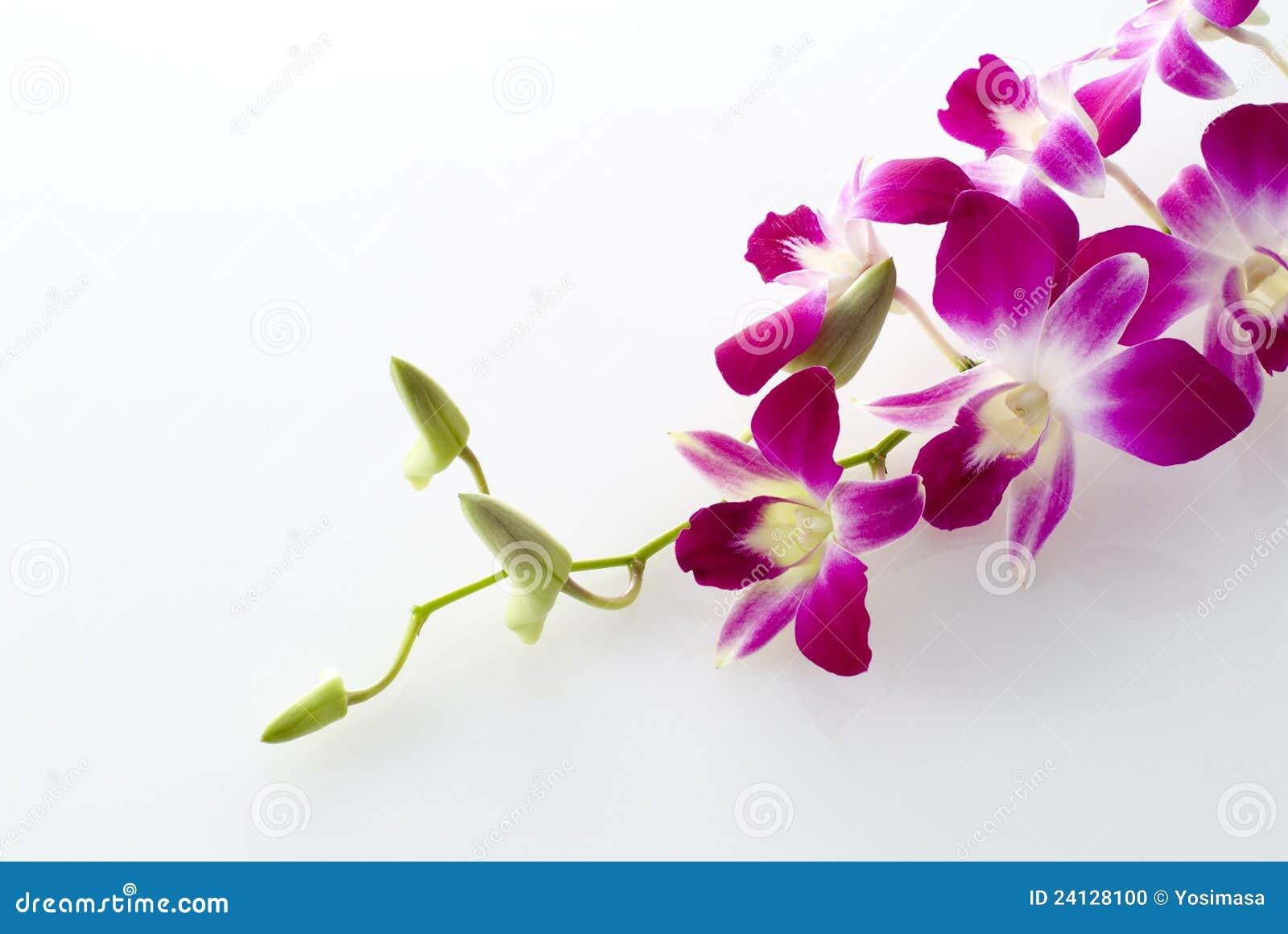 Orquídea en el fondo blanco