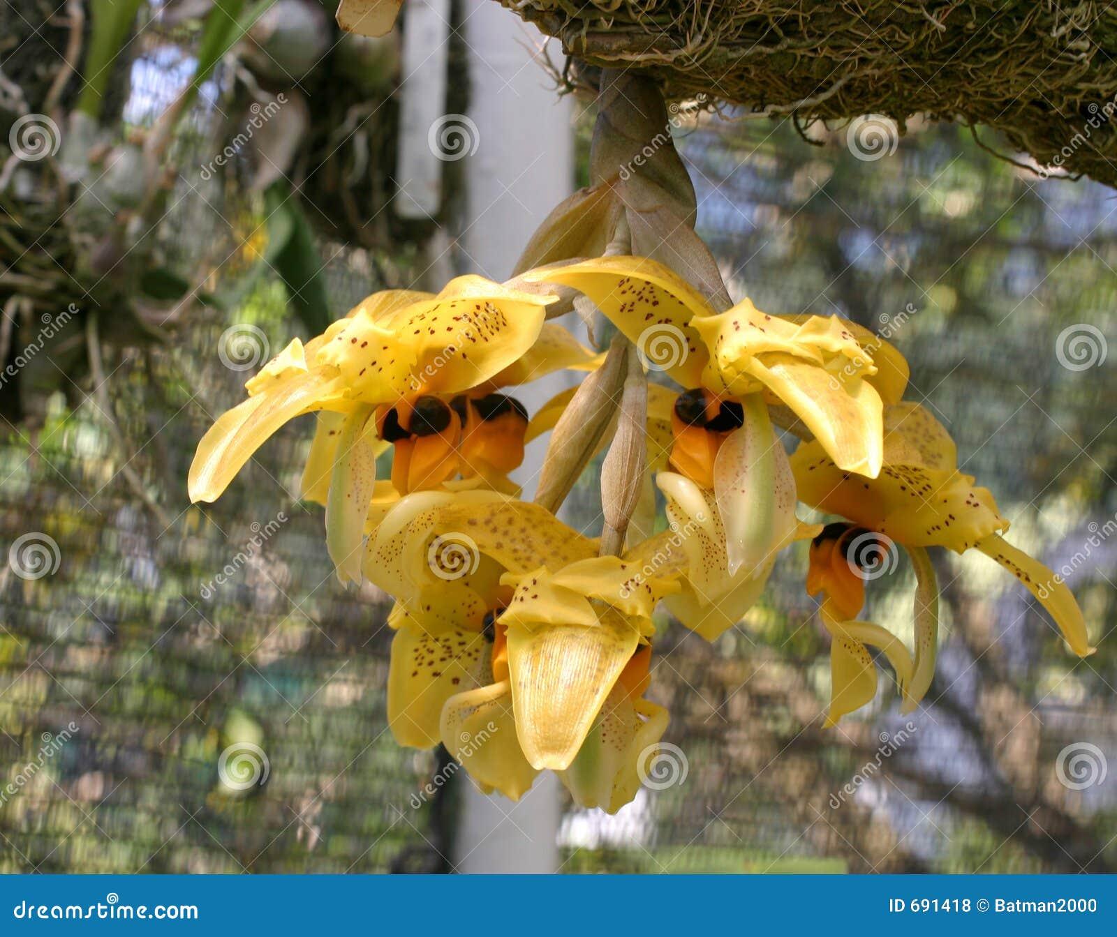 Orquídeas amarillas colgantes