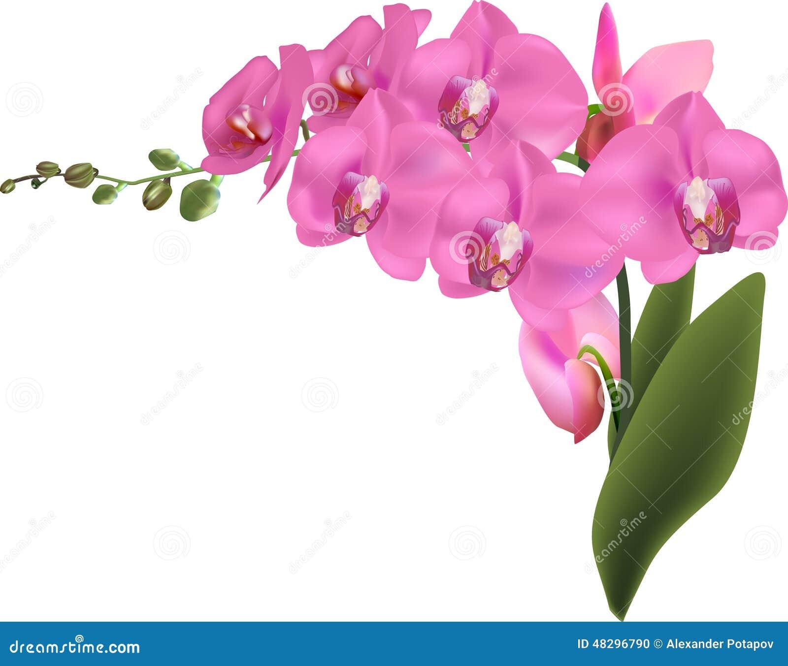 Orquídeas rosadas grandes hermosas aisladas en blanco