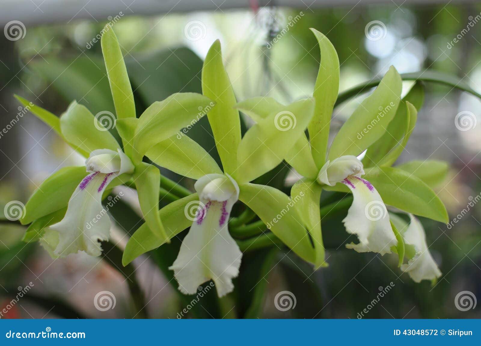 Orquídeas verdes raras