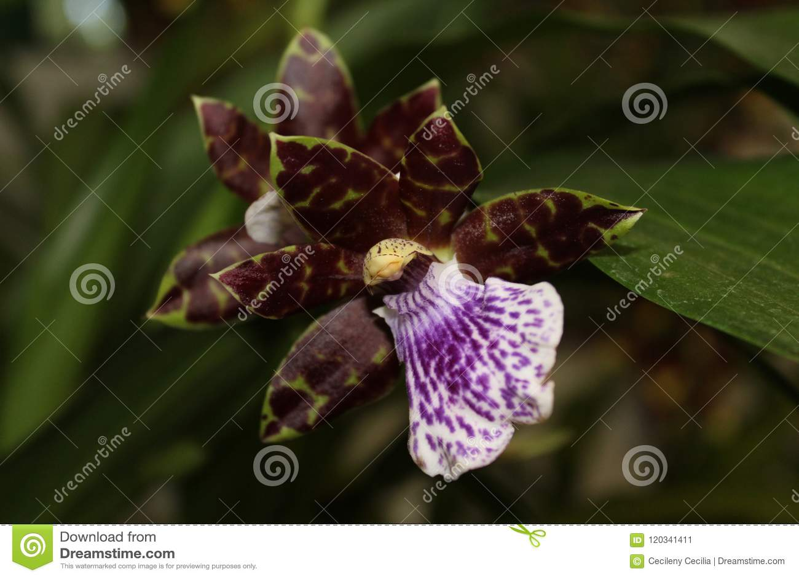 Orquidea Cattleya Aclandiae Stockbild Bild Von Weiß Grün