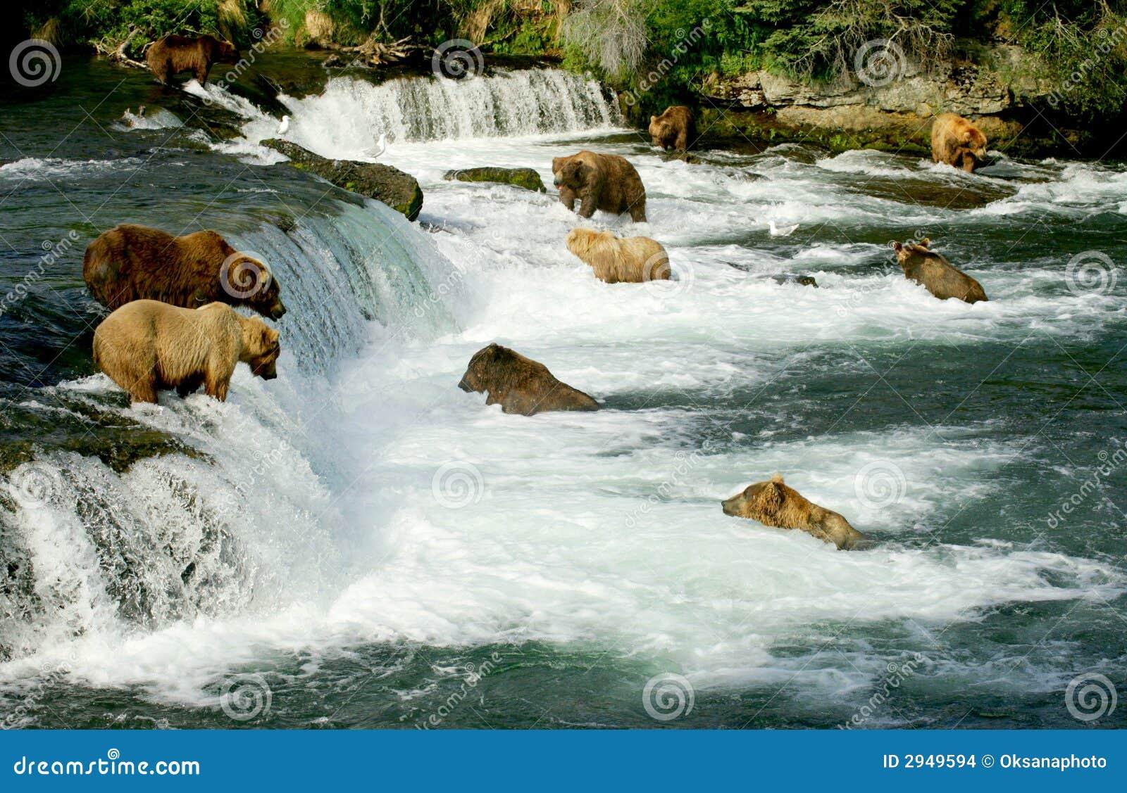 Orsi dell orso grigio
