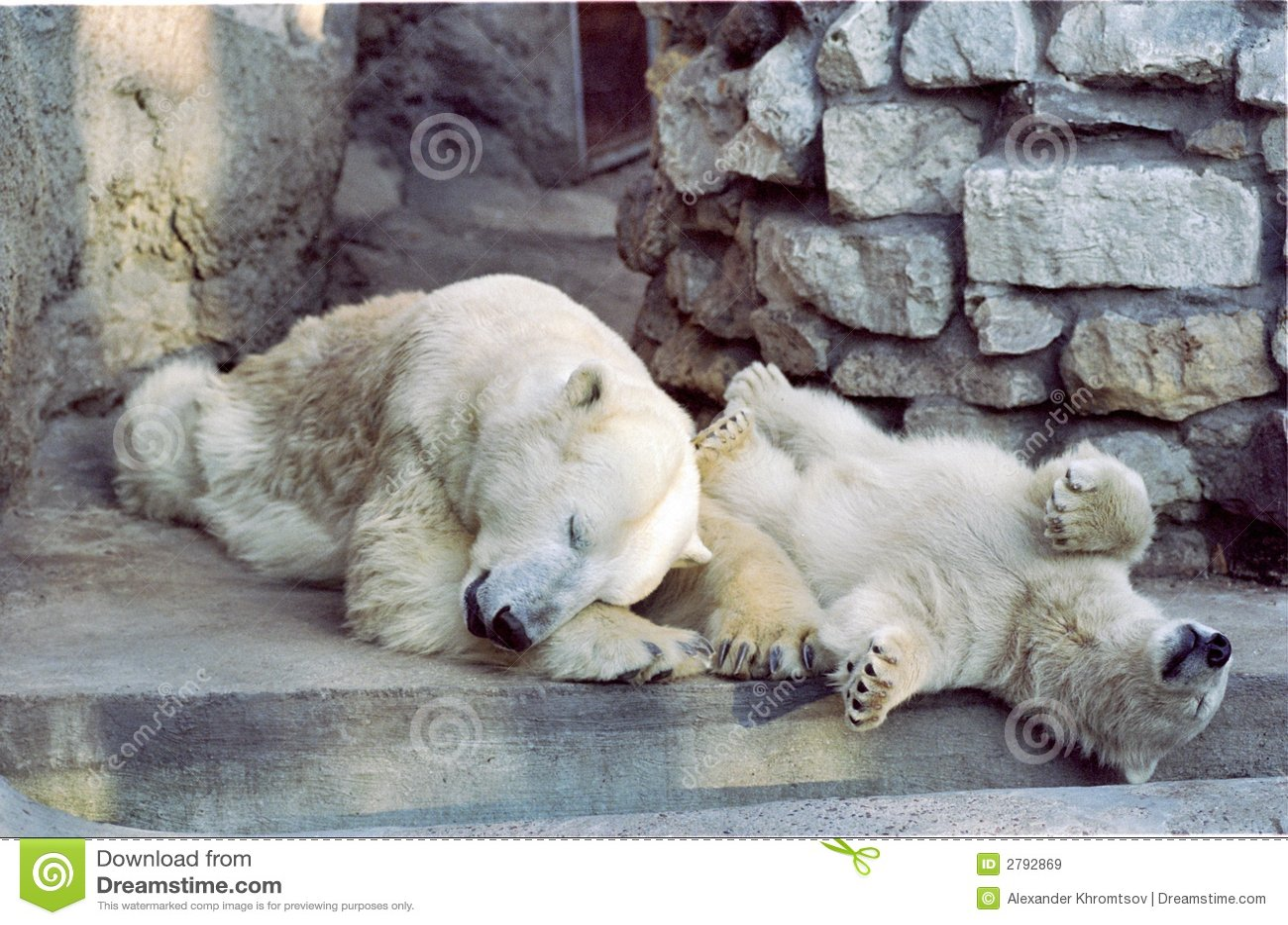 Orsi polari a riposo