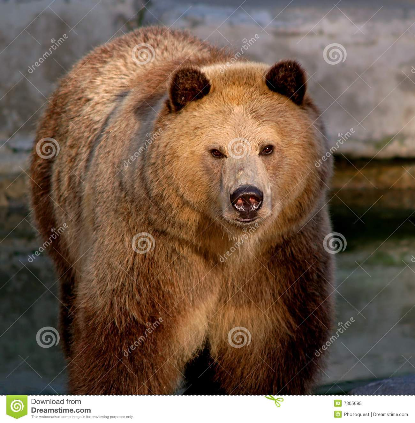 Orso dell orso grigio