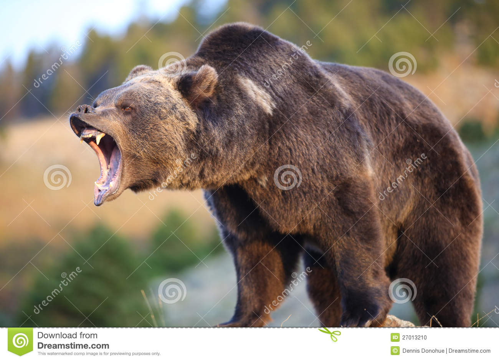 Orso dell orso grigio che ringhia