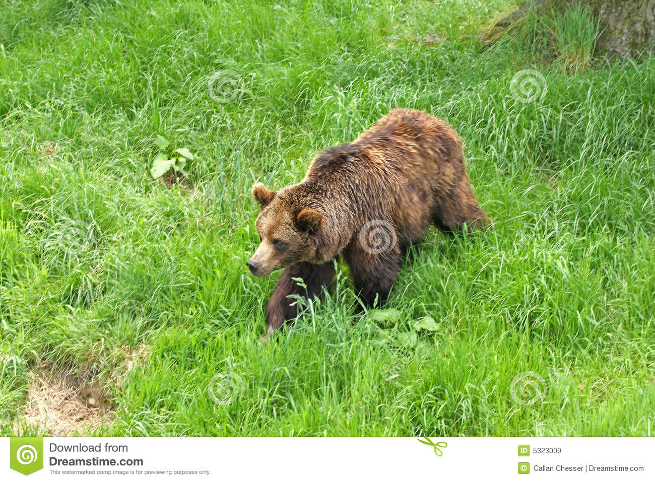 Download Orso di Brown europeo immagine stock. Immagine di orso - 5323009