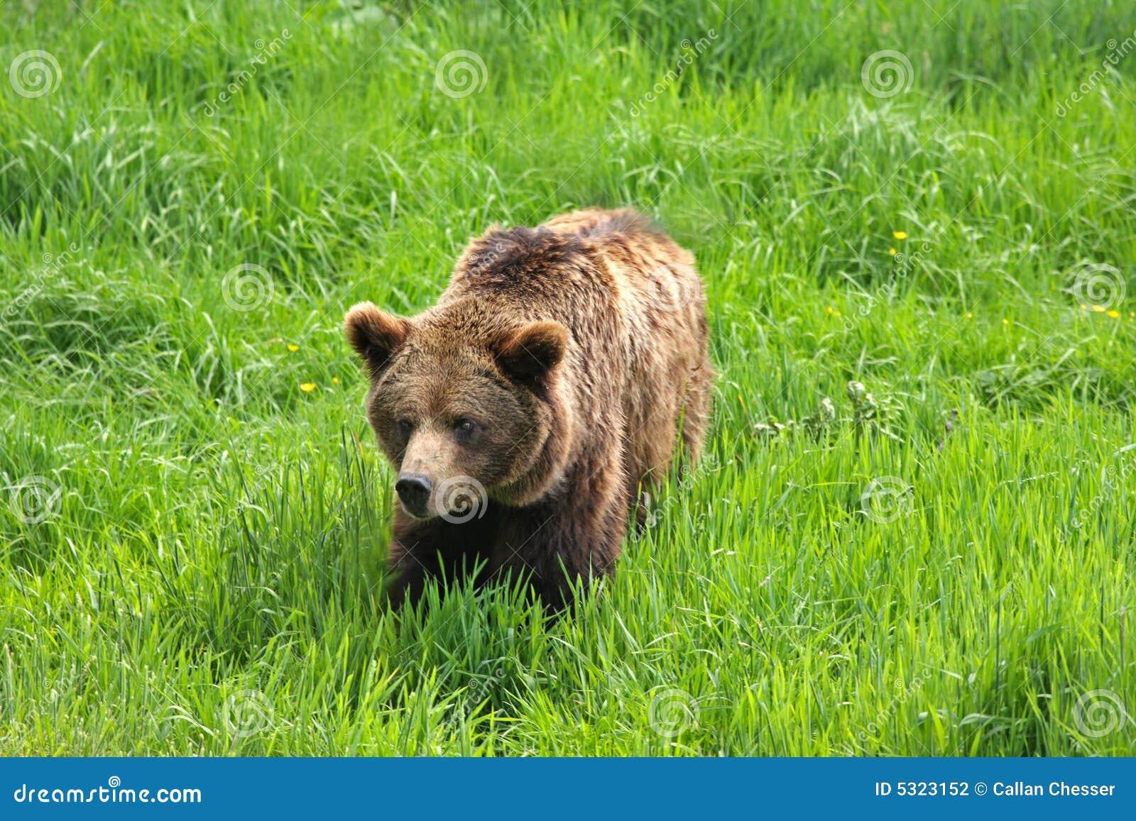 Download Orso di Brown europeo fotografia stock. Immagine di bestia - 5323152