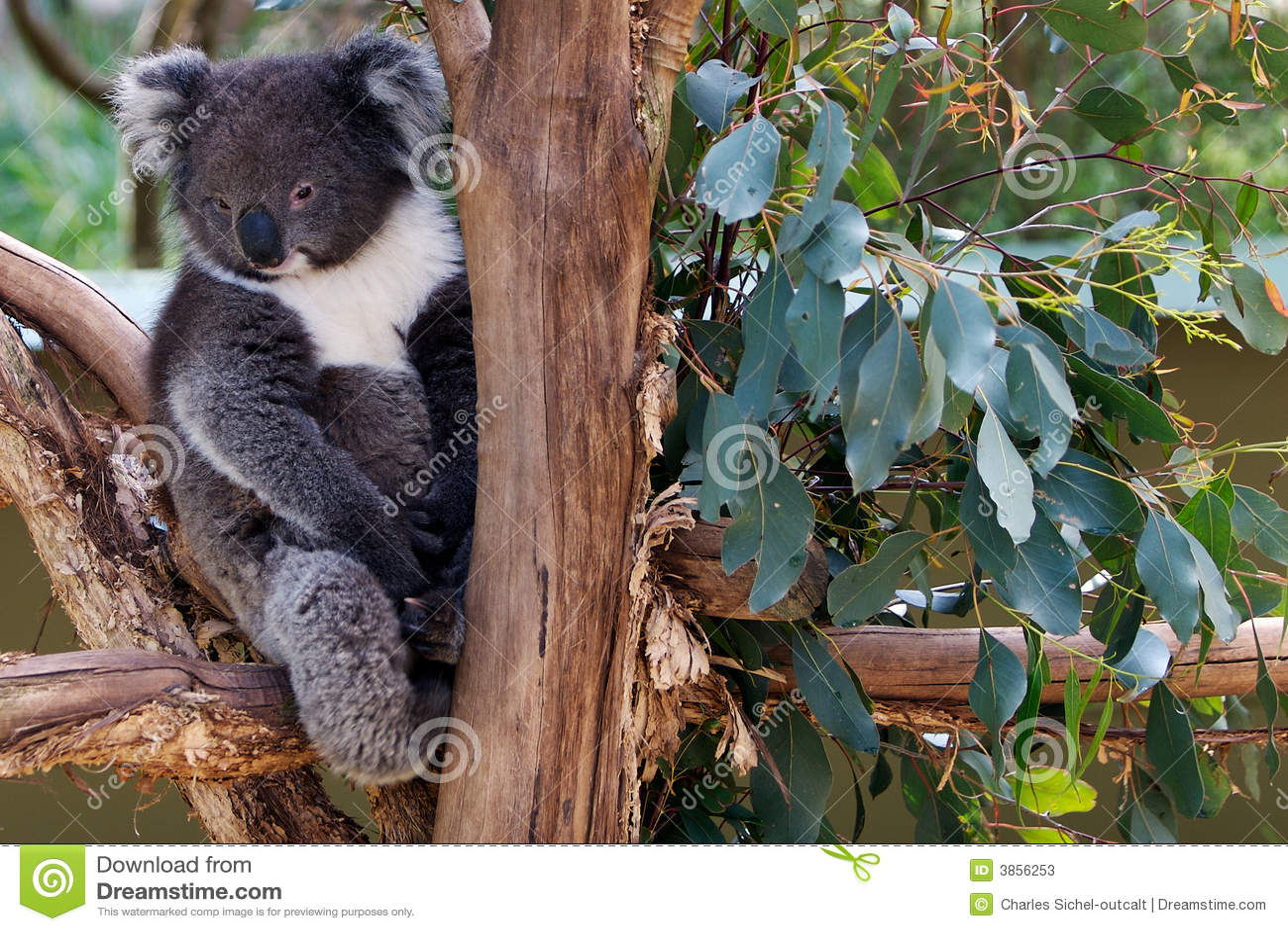 Orso di koala sonnolento in albero