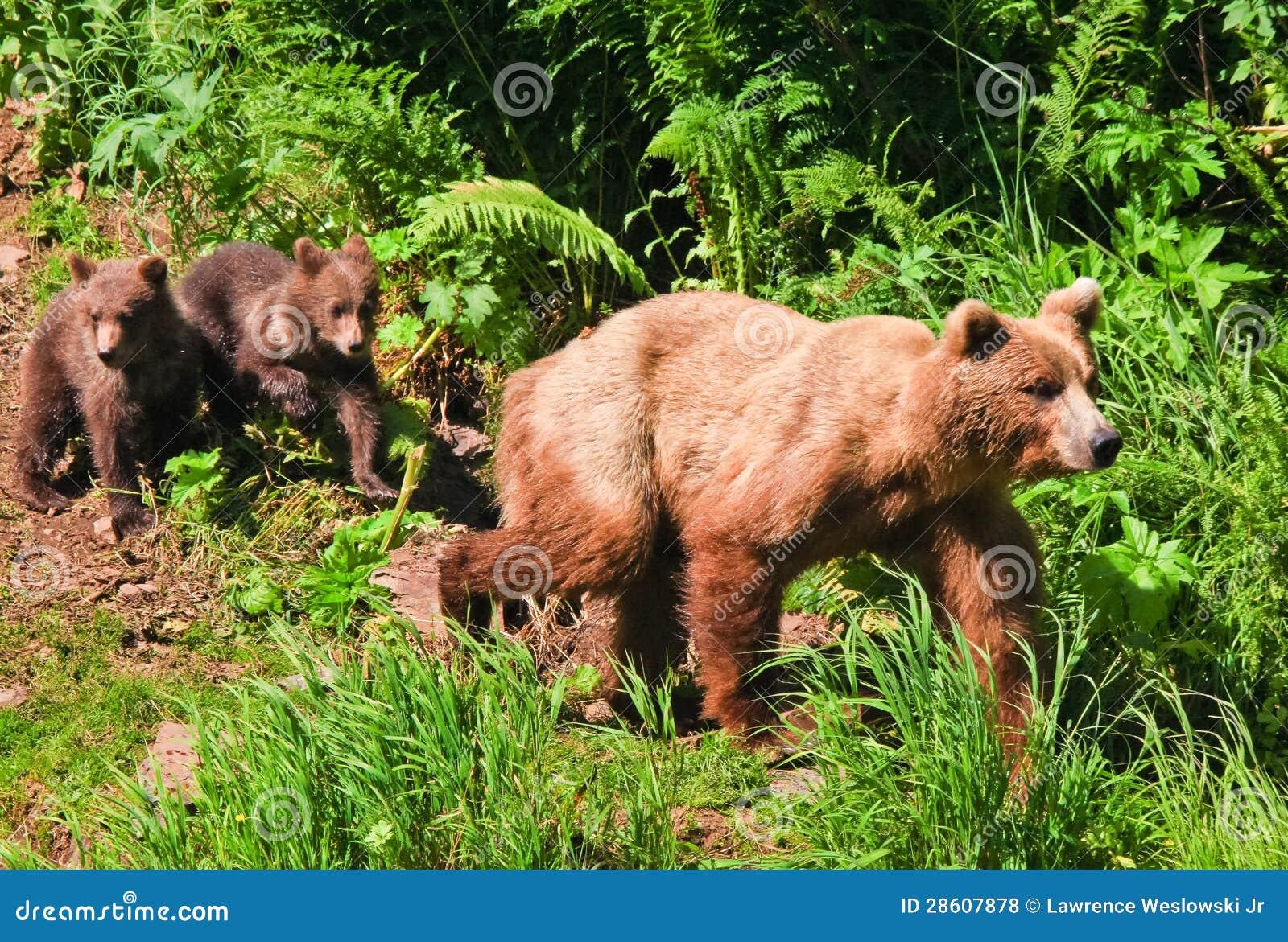 Orso grigio dell 39 alaska brown con i cuccioli gemellati for Affitti cabina grande lago orso