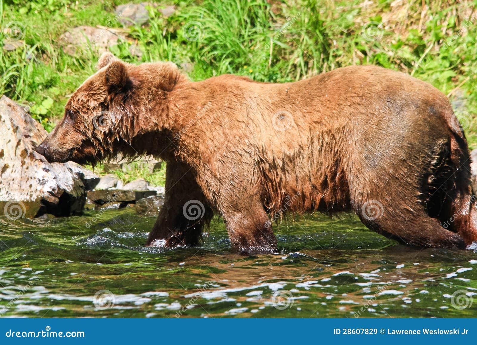 Orso grigio dell 39 alaska brown tutto il bagnato immagine for Affittare una cabina nel grande orso