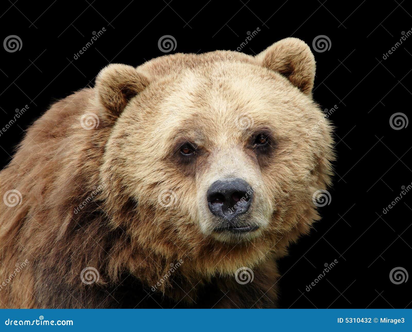 Download Orso Maschio Triste Dell'orso Grigio Del Primo Piano Che Esamina Macchina Fotografica Fotografia Stock - Immagine di triste, camera: 5310432