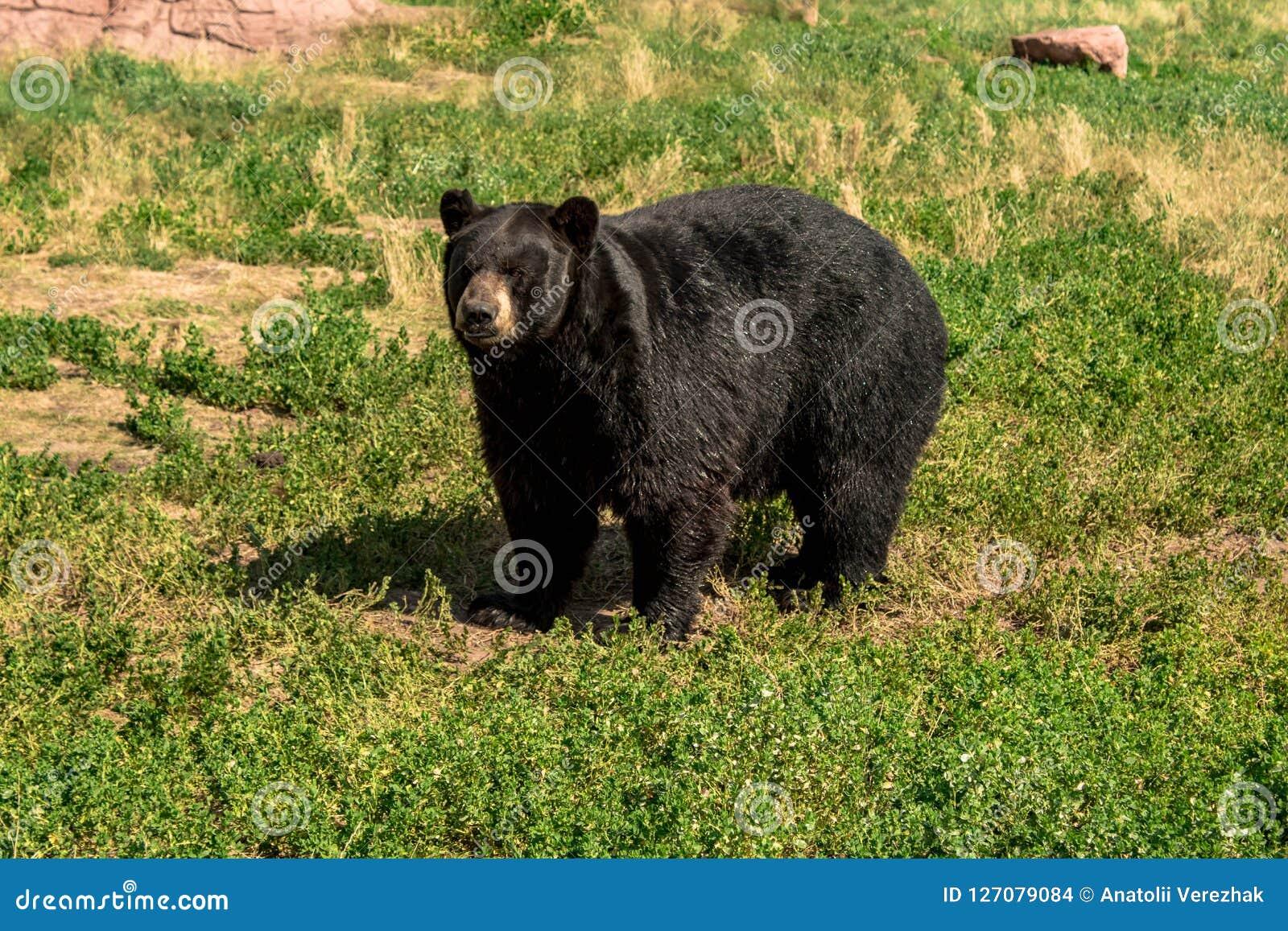 Orso nero paffuto che cammina intorno sul campo
